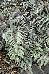 Pewter Lace Painted Fern (Athyrium nipponicum 'Pewter Lace') at Plant World