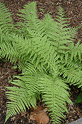 Tatting Fern (Athyrium filix-femina 'Frizelliae') at Plant World