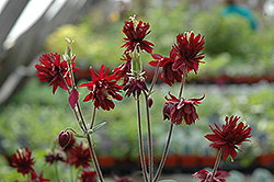 Ruby Port Double Columbine (Aquilegia vulgaris 'Ruby Port') at Plant World
