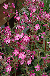 Rolly's Favorite Campion (Silene 'Rolly's Favorite') at Plant World