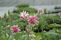 Nora Barlow Columbine (Aquilegia vulgaris 'Nora Barlow') at Plant World