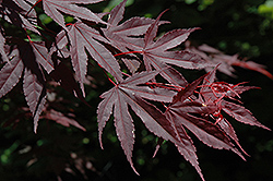 Crimson Prince Japanese Maple (Acer palmatum 'Crimson Prince') at Plant World