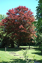 Purple-Leaf Japanese Maple (Acer palmatum 'Atropurpureum') at Plant World