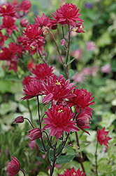Clementine Red Columbine (Aquilegia vulgaris 'Clementine Red') at Plant World