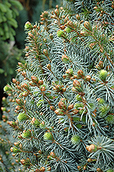 Papoose Dwarf Sitka Spruce (Picea sitchensis 'Papoose') at Plant World