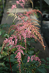 Ostrich Plume Astilbe (Astilbe x arendsii 'Ostrich Plume') at Plant World