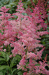 Jump and Jive Astilbe (Astilbe 'Jump And Jive') at Plant World