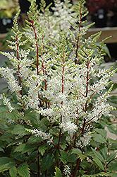 Rock And Roll Astilbe (Astilbe 'Rock And Roll') at Plant World