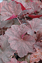 Venus Coral Bells (Heuchera 'Venus') at Plant World