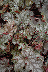 Can Can Coral Bells (Heuchera 'Can Can') at Plant World