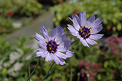 Cupid's Dart (Catananche caerulea) at Plant World
