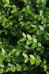 Amur Privet (Ligustrum amurense) at Plant World