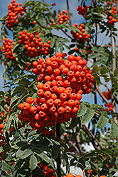 Russian Mountain Ash (Sorbus aucuparia 'Rossica') at Plant World