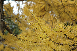 European Larch (Larix decidua) at Plant World
