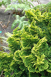 Dwarf Golden Hinoki Falsecypress (Chamaecyparis obtusa 'Nana Aurea') at Plant World