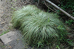 New Zealand Hair Sedge (Carex comans 'Frosted Curls') at Plant World