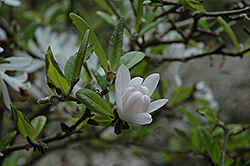 Pink Star Magnolia (Magnolia stellata 'Rosea') at Plant World