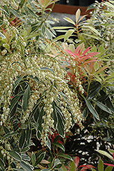Flaming Silver Japanese Pieris (Pieris japonica 'Flaming Silver') at Plant World