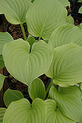 Aphrodite Hosta (Hosta 'Aphrodite') at Plant World