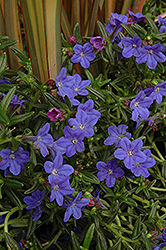 Grace Ward Lithodora (Lithodora 'Grace Ward') at Plant World