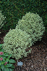 Variegated Boxwood (Buxus sempervirens 'Variegata') at Plant World
