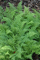New York Fern (Thelypteris noveboracensis) at Plant World