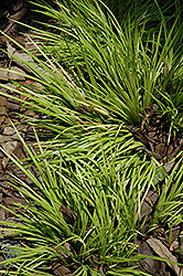 Grassy-Leaved Sweet Flag (Acorus gramineus 'Minimus Aureus') at Plant World