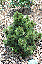Irish Bell Bosnian Pine (Pinus leucodermis 'Irish Bell') at Plant World