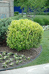 Golden Privet (Ligustrum x vicaryi) at Plant World