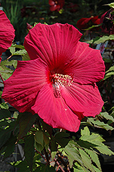 Sultry Kiss Hibiscus (Hibiscus 'Sultry Kiss') at Plant World
