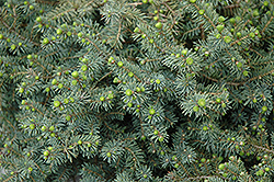 Dwarf Black Spruce (Picea mariana 'Nana') at Plant World