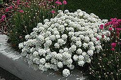 Tahoe Candytuft (Iberis sempervirens 'Tahoe') at Plant World