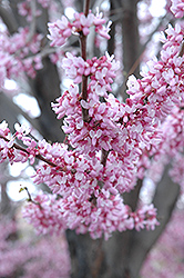 Eastern Redbud (Cercis canadensis) at Plant World