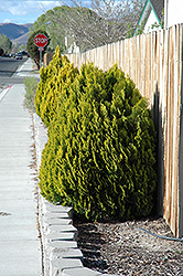 Berkman's Gold Arborvitae (Thuja orientalis 'Berkman's Gold') at Plant World