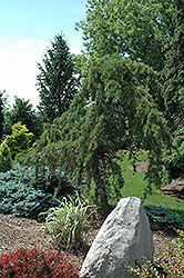 Uncle Fogy Jack Pine (Pinus banksiana 'Uncle Fogy') at Plant World