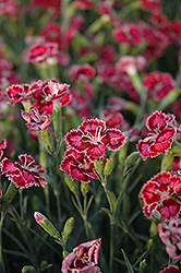 Cranberry Ice Pinks (Dianthus 'Cranberry Ice') at Plant World