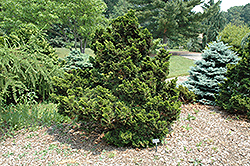 Nana Compacta Hinoki Falsecypress (Chamaecyparis obtusa 'Nana Compacta') at Plant World
