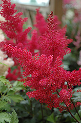 Montgomery Japanese Astilbe (Astilbe japonica 'Montgomery') at Plant World