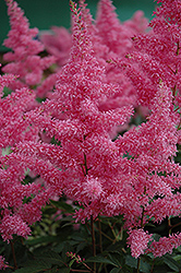 Rhythm and Blues Astilbe (Astilbe 'Rhythm and Blues') at Plant World