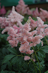 Sister Theresa Astilbe (Astilbe x arendsii 'Sister Theresa') at Plant World