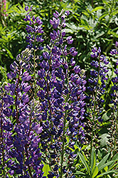 Blue Lupine (Lupinus perennis 'Blue') at Plant World
