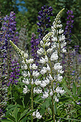 White Lupine (Lupinus perennis 'White') at Plant World