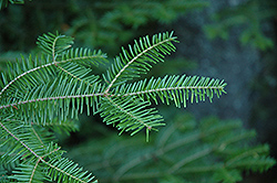 Balsam Fir (Abies balsamea) at Plant World