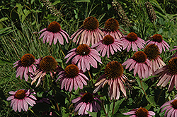 Purple Coneflower (Echinacea purpurea) at Plant World