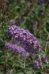 Nanho Blue Butterfly Bush (Buddleia davidii 'Nanho Blue') at Plant World