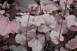 Stainless Steel Coral Bells (Heuchera 'Stainless Steel') at Plant World