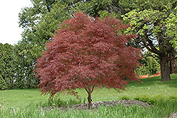 Dwarf Red Pygmy Japanese Maple (Acer palmatum 'Red Pygmy') at Plant World