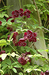 Fiveleaf Akebia (Akebia quinata) at Plant World