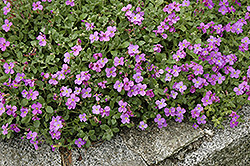 Purple Rock Cress (Aubrieta deltoidea) at Plant World