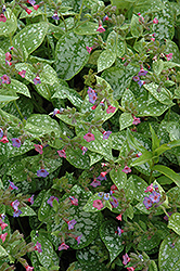 Excalibur Lungwort (Pulmonaria 'Excalibur') at Plant World